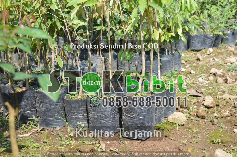 Bibit jeruk Dekopon | Bibit jeruk Nagami      Berkwalitas       Lengkap