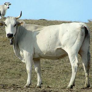 Una gran vacca italiana si fa scopare da 2 idraulici - 2 1