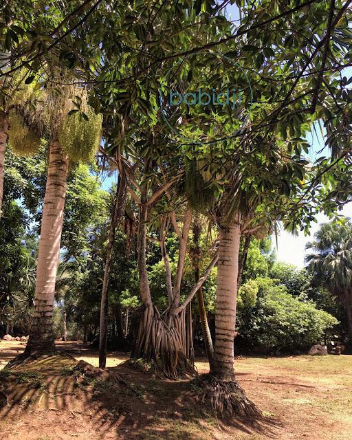 banian trees à la vanille nature park à l'île maurice