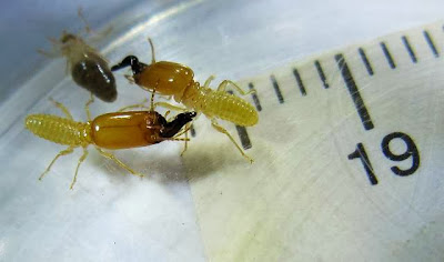 Soldiers and a worker of Pericapritermes termite