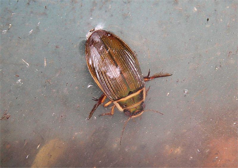 Murfs Wildlife Great Diving Beetle
