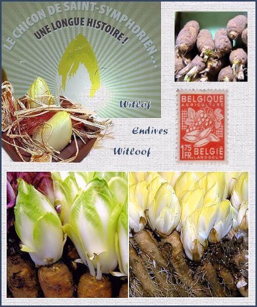 Cichorium intybus convar. foliosum, endives, witloof,chicons,Cichorium intybus convar. foliosum