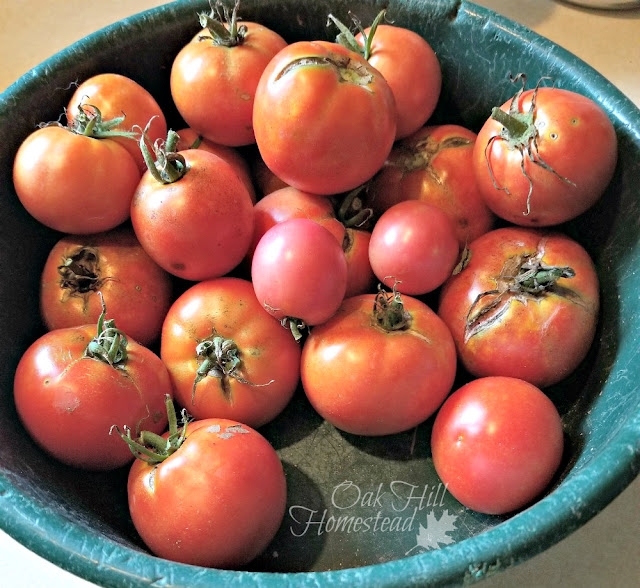 A bowl full of ripe tomatoes for seed-saving