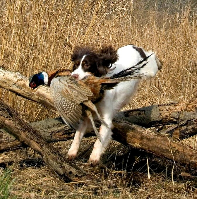 Top 10 Hunting Dog Breeds The Cozy Pet Blog
