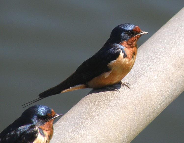 Northern Illinois Birder: Barn Swallows: April Migration ...