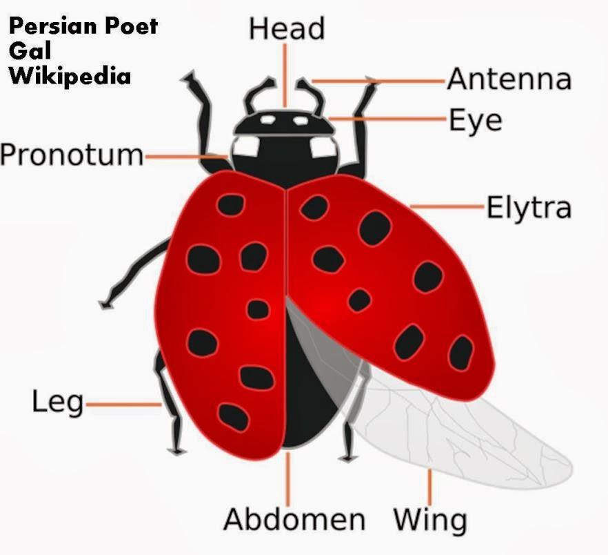 Roots \'n\' Shoots: Ladybeetle (Ladybug or Ladybird): Biological ...