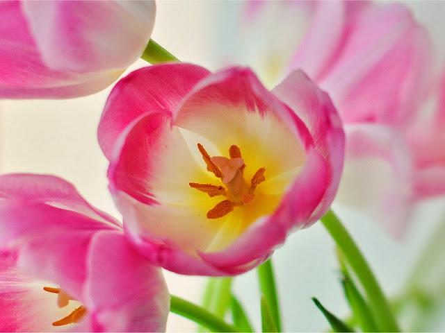 Pink Tulip Wallpaper