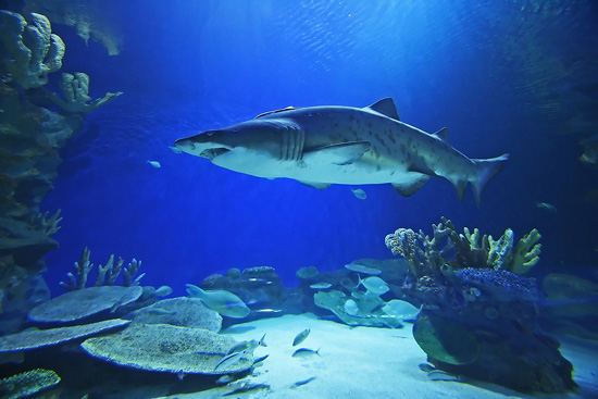 Shark at Dubai Aquarium and Underwater Zoo