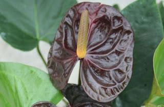 Gambar Bunga Anthurium yang Cantik 14