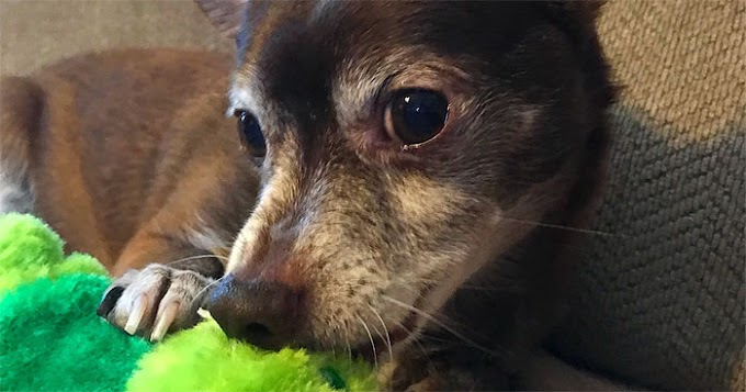 Pet Store Discontinues The Only Toy This Elderly Dog Plays With So Owner Asks Help From The Internet