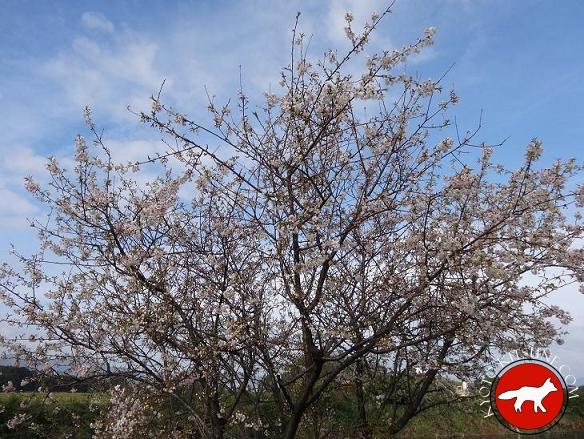 Cerisiers en fleur en automne au Japon à Kyoto
