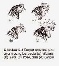 Empat macam pial ayam yang berbeda (a) Walnut (b) Pea, (c) Rose, dan (d) Single
