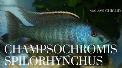 CHAMPSOCHROMIS SPILORHYNCHUS malawi chichlid