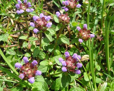 Tomillo rosa (Thymus praecox)
