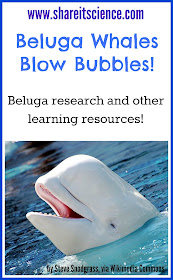 Beluga Whales Blow Bubbles! www.shareitscience.com