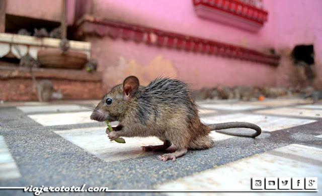 Karni Mata, templo de las ratas de Deshnok - Bikaner