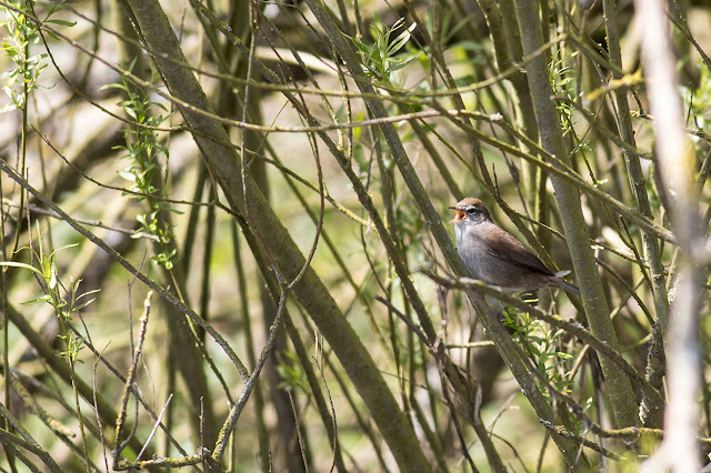 Cetti's Warbler in full song