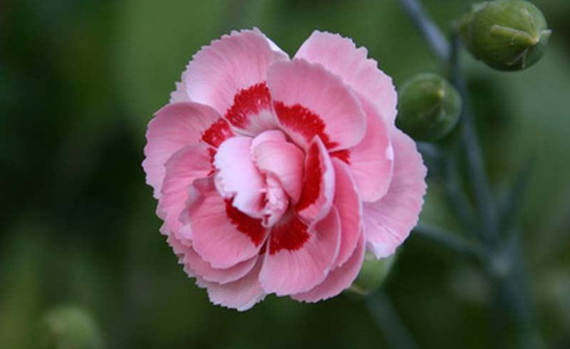 carnation plant, growing carnations,