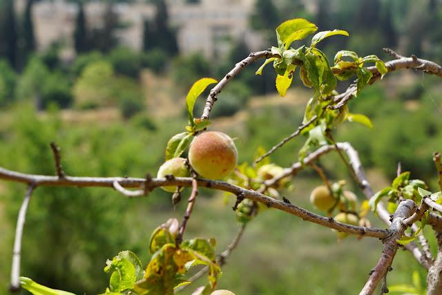 עץ אפרסק בעמק הצבאים