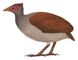 Megapodius tenimberensis