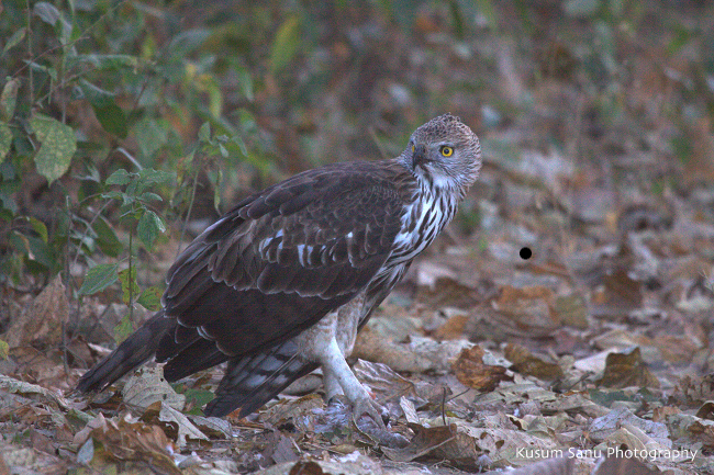 Changeable Hawk Eagle Manas National Park Assam India