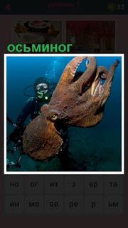 под водой аквалангист держит огромного осьминога