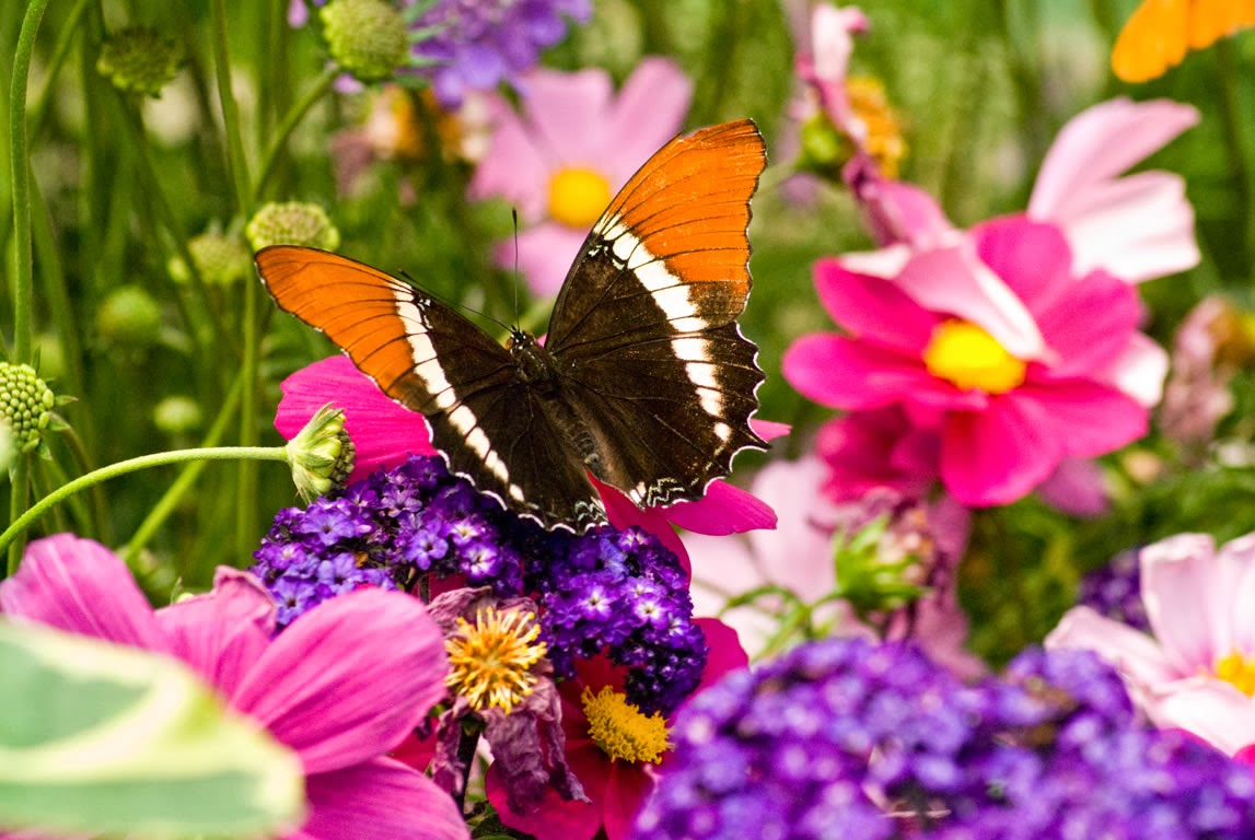Free live butterfly wallpaper - beautiful desktop wallpapers 2014