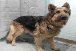 9 years of loyalty, german shepherd dumped at high kill shelter, crying in fear all day