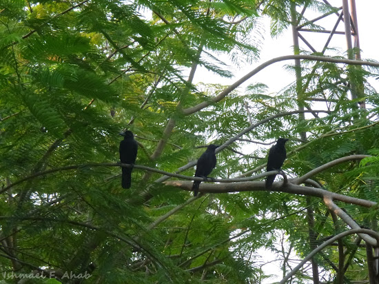 Three crows on a tree in Lumphini Park