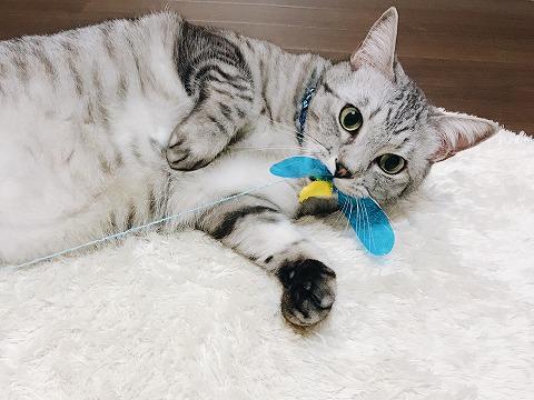 カシャぶんを捕らえたサバトラ猫