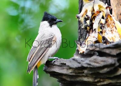 Burung Kutilang termasuk burung yang layak dijadikan klangenan dirumah Pengalaman Menjinakkan Kutilang yang Masih Giras