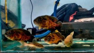 Ikan oscar batik dan jenis oscar albino