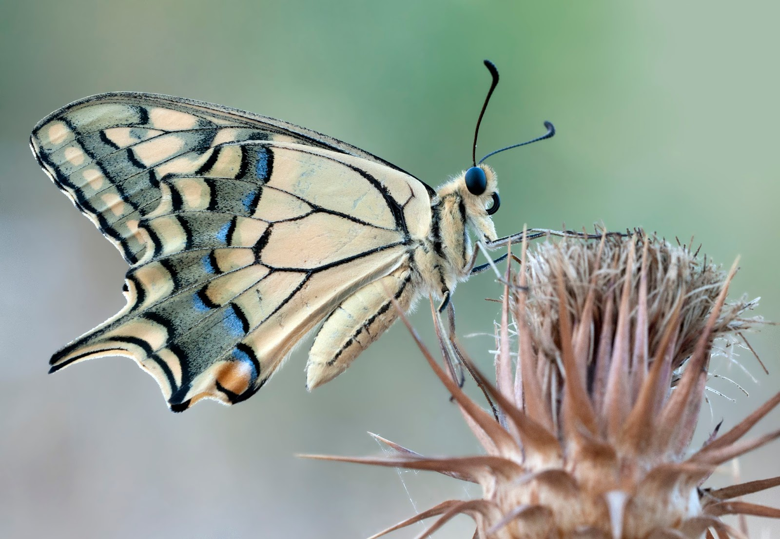 Insects: Papilio machaon - Swallowtail 1