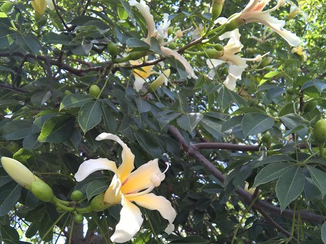 Fiori Ceiba speciosa