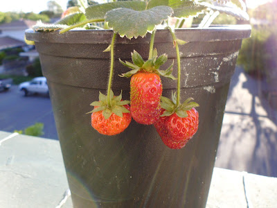 Hanging Strawberries