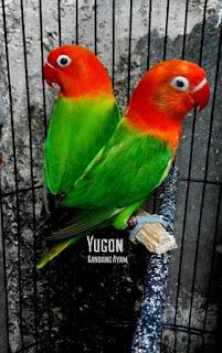 harga lovebird biola terbaru