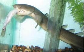 Belut Dinosaurus, Ikan Hias Predator makan ikan kecil