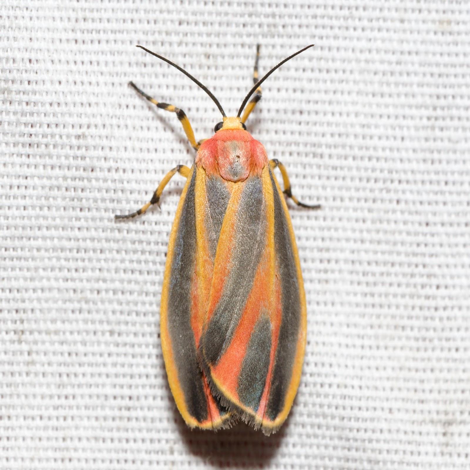 Painted Lichen Moth (Hypoprepia fucosa) Ohio