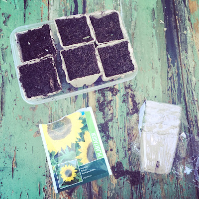 auringonkukka, kasvatus siemenestä