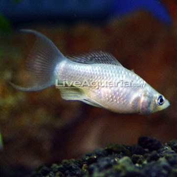 Dunia Ikan Hias - Platinum Lyretail Molly