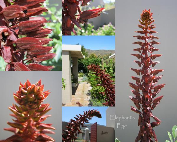 Flowers of Melianthus major
