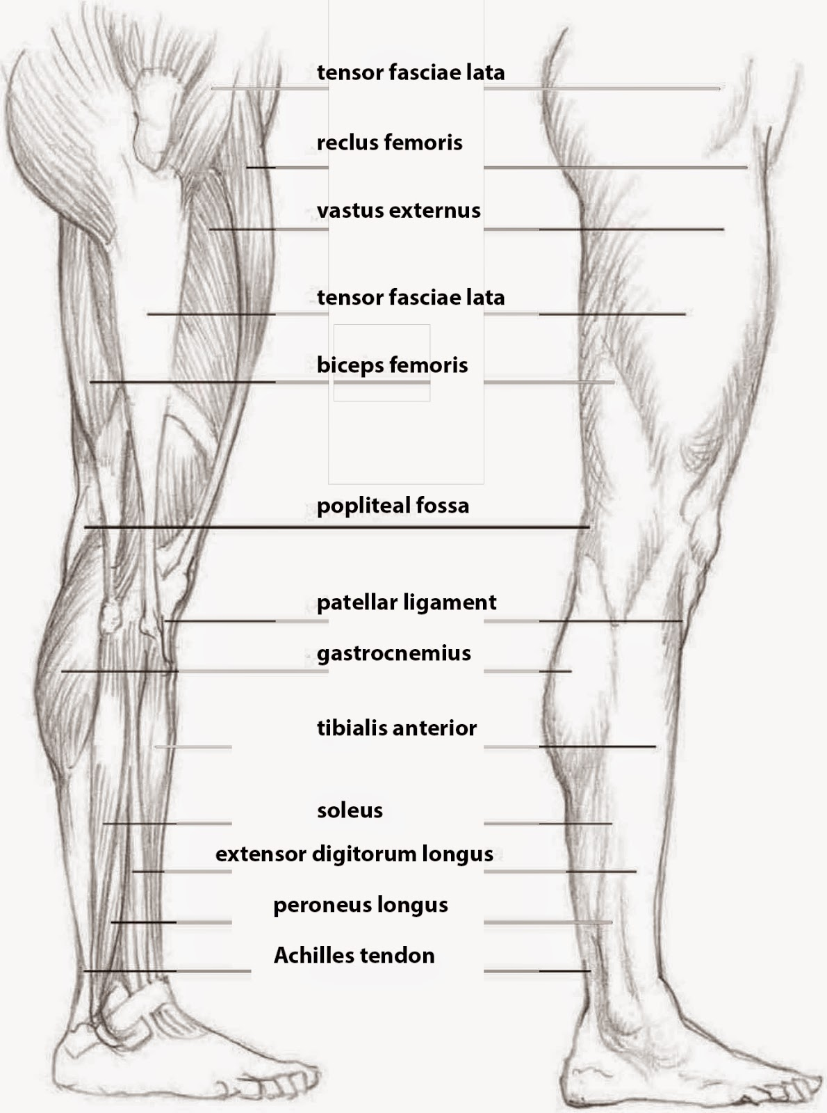 Human Leg Muscles Side View