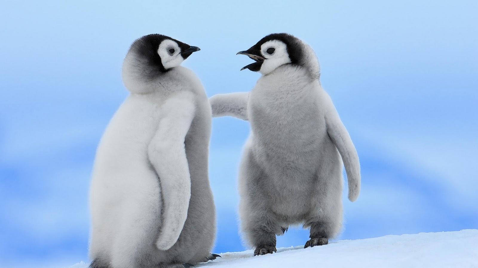 animals hd cute animal nature wallpapers desktop beauty penguin baby penguins pinguin twee google