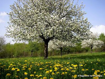 pommiers en fleurs,