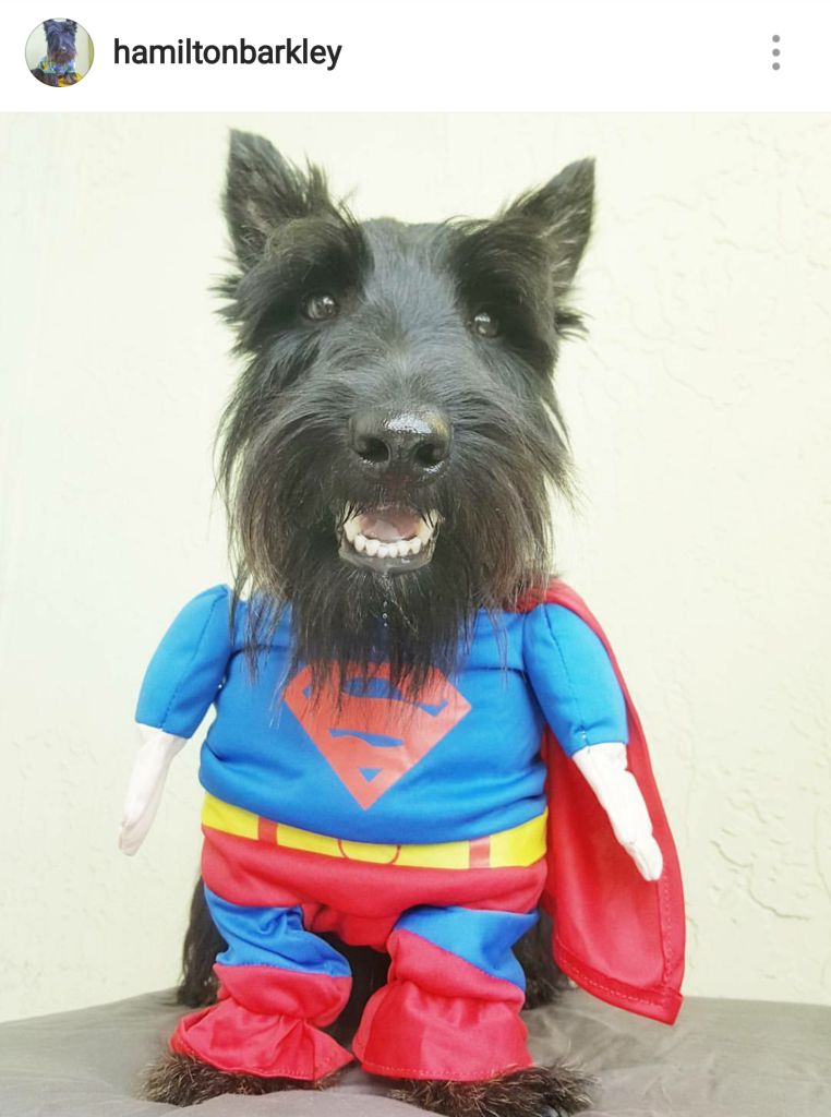 here are a few scottish terriers we saw rocking halloween costumes want more check out our facebook page and instagram account