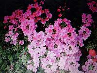 Werbena Kwiaty Kwitnące