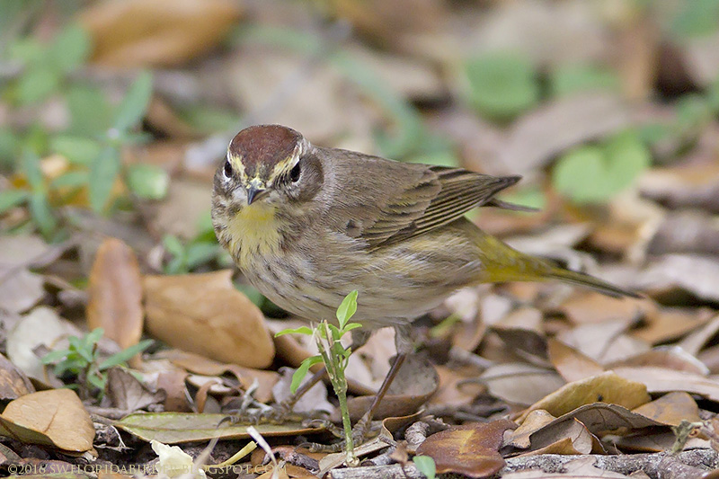 the palm warbler above  image 25  was photographed at castellow hammock park in march 2016  swfloridabirder  in search of miami parakeets  rh   swfloridabirder blogspot