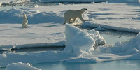 A polar bear and cub traverse floating Arctic sea ice in search of prey. (Image Credit: NOAA Photo Library) Click to Enlarge.