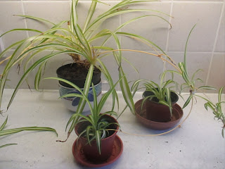 A family of spider plants
