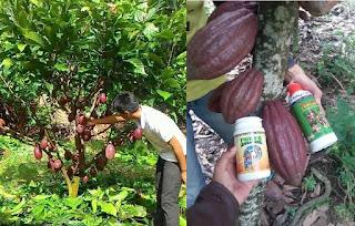 pupuk kakao, perkebunan kakao